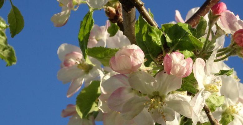 Fleurs Chamblon