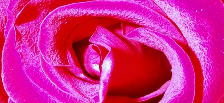 Rose Illustrant l'article Le Baiser du bourdon